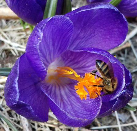 Biene auf Krokus - Frühblüher.